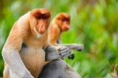 Proboscis monkeys endemic of Borneo island in Malaysia poster