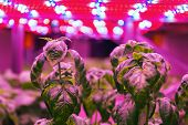 Special LED lights belts above basil herb in aquaponics system combining fish aquaculture with hydroponics, cultivating plants in water under artificial lighting, indoors poster