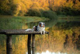 Dog Australian Shepherd On A Wooden Bridge On The Lake. Pet For A Walk In The Autumn
