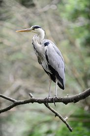 Grey Heron Standing On Branch With Green Background.