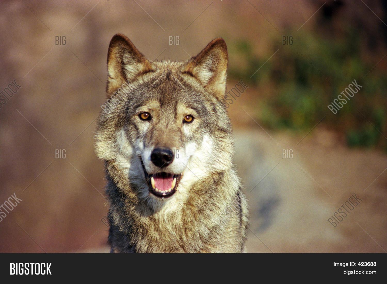 Wolf Bilder Kostenlos