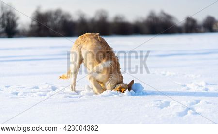 Lovely young golden retriever dog digging under clear snow