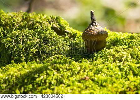 The Acorn Lies On The Green Moss Of The Autumn Forest. Juicy Green Moss And Acorn, Spring In The For
