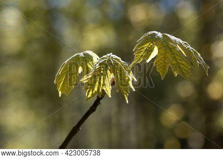 Spring Leaves Of An Oregon Maple Tree, Acer Macrophyllum