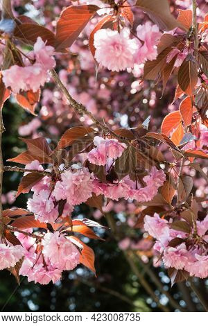 Beautiful Cherry Blossom Melkopilchatoy: Double Pink Flowers And Red Leaves On The Branches