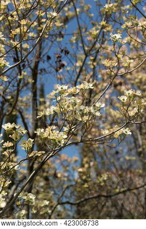The Flowering Tree Of Derena Floridica - White-green Flowers On Branches Without Leaves. Spring