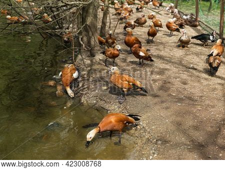 The Ogar Or Red Duck Is A Waterfowl Of The Duck Family, Related To The Peganka. It Is Characterized