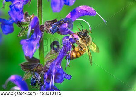 A Bee Sucks Nectar On A Flower Salvia Pratensis