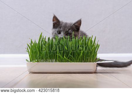 A Small Gray Kitten Eats Green Grass To Breed Fur. The Cat Eats Oats A Source Of Vitamins.