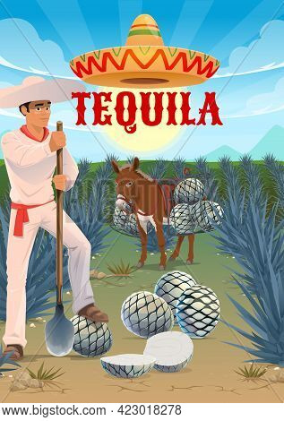 Tequila Agave Plantation Worker, Mule Or Donkey With Pinas Hearts. Jimador Harvester On Field, Man I