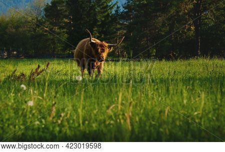 Scottish Highland Cattle Walking In Alpine Mountain Landscape On Sunlit Meadow Along Evergreen Fores