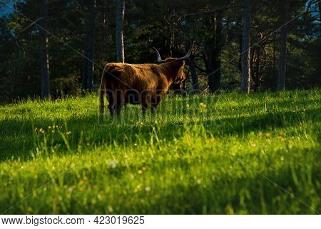 Highland Cattle Standing In Alpine Mountain Landscape On Sunlit Meadow Along Evergreen Forest During