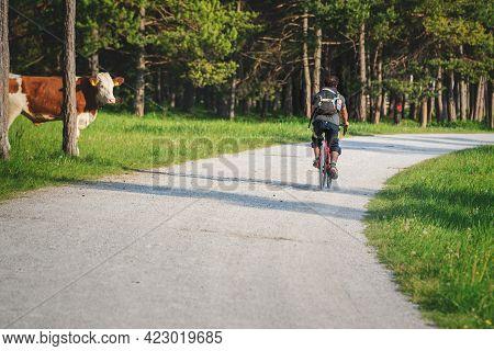 Mieming, Tirol, Austria - 1 June 2021: Cow Watching A Mountain Bike Cyclist Riding Along Sunny Alpin