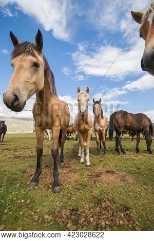 Portrait Of Group Of Beautiful Haflinger Horses In The Pian Grande In The National Park Of Monti Sib