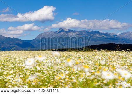 Blooming meadow with High Tatras, Slovakia