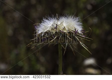 View Of Dried Milk Thistle Flower With Seeds Closeup On A Dark Blurred Background. Selective Focus