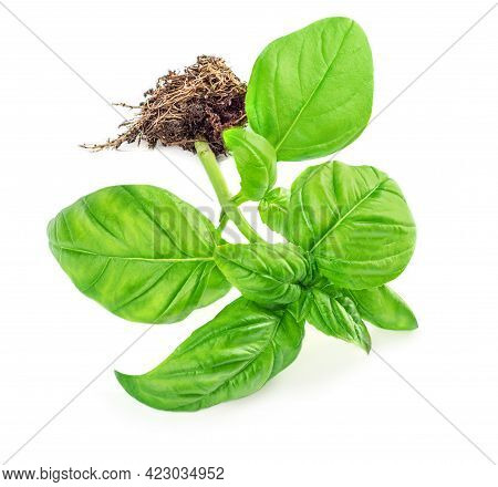 Fresh Green Basil Plant  Isolated On White Background, Top View. Basil Herb  Growning With A Roots
