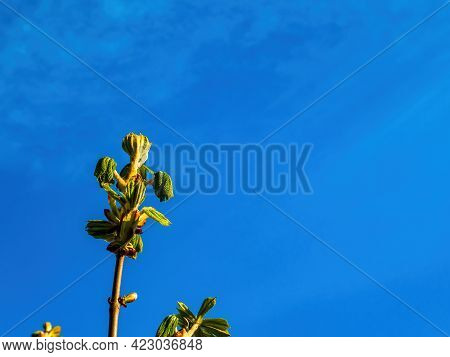 Green Shoots Of Leaves Of A Chestnut Tree On A Background Of Blue Sky. Castanea Tourn. Green Shoots