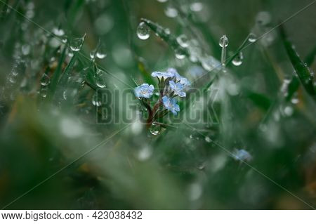 Dew Grass Early Morning. Beautiful Emerald Color Of Summer Grass. Abstract Natural Background, Beaut