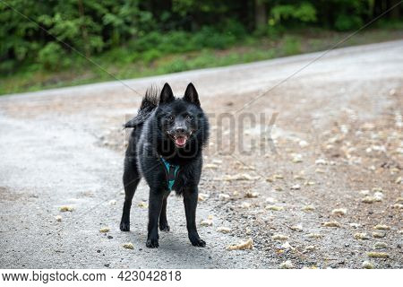 Black Dog On Forest Road With Blurred Background - Breed Named Schipperke