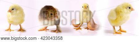 Newborn brown babies chicken standing on egg shells isolated on white background