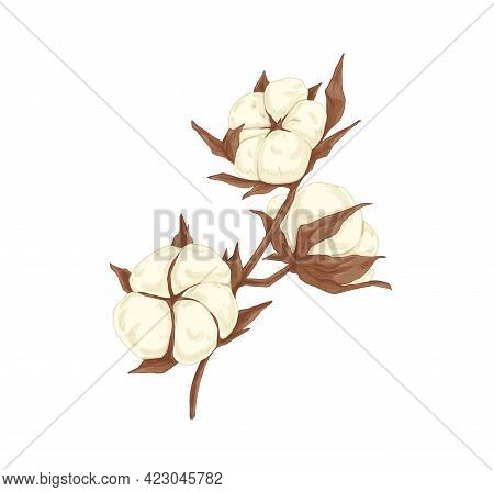 Soft Cotton Flower Branch. Realistic Botanical Drawing Of Beautiful Coton Plant With Fluffy Bolls An
