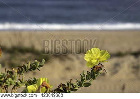 Yellow Flowers Beach Evening Primrose Closeup On The Background Of The Sea