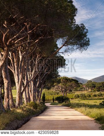 Morning Sunlight On An Avenue Of Pine Trees Along A Track Leading To A Vineyard In Corsica