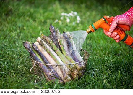 Farmer washes asparagus sprouts with garden hose. Fresh green, purple and white asparagus sprouts. Food photography