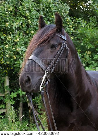 A Head Shot Of A Rare Breed Fell Pony In A Show Bridle.