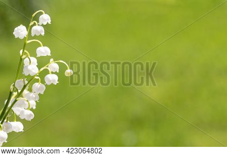 Beautiful Natural Background For Congratulatory Text. Delicate Spring Lily Of The Valley Flower. Fre