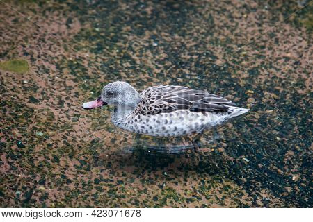 Bird Cape Teal (latin: Anas Capensis) Floating On Clear Water Against A Clear Bottom. Birds Ornithol