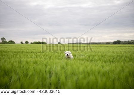 Funny Big White Sheepdog Jumping On Green Rye Field. Pet Guards The Field With Harvest.