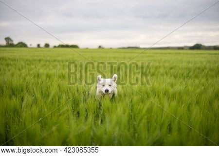 Funny Big White Sheepdog With Raised Ears Run And Jump On Green Rye Field. Pet Guards The Field With