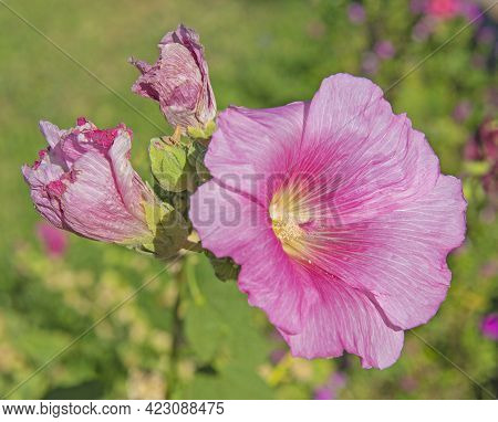 Close-up Detail Of A Pink Hibiscus Flower Petals And Stigma In Garden