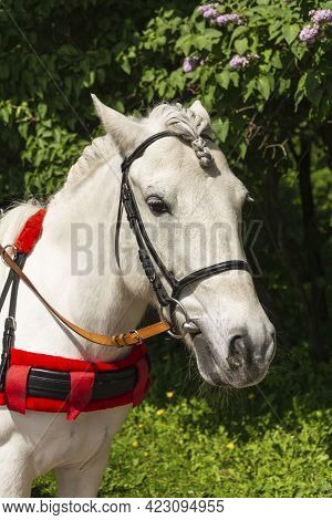Horse Head With Pigtail And Bridle In The Park, Mane Braided In A Pigtail, White Horse, Ride In The