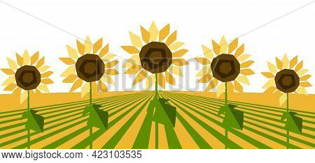 Background With Ripe Sunflowers. Harvested Agricultural Field.
