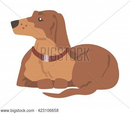 Dachshund Or Badger Dog As Short-legged And Long-bodied Hound Breed With Collar Sitting Vector Illus