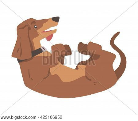 Dachshund Or Badger Dog As Short-legged And Long-bodied Hound Breed With Collar Rolling On Its Back
