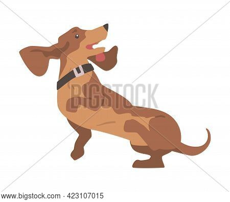 Dachshund Or Badger Dog As Short-legged And Long-bodied Hound Breed With Collar Leaping Vector Illus