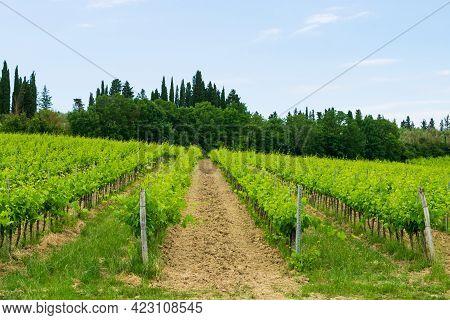 Closeup Of A Beautiful Vineyard In The Tuscan Countryside.
