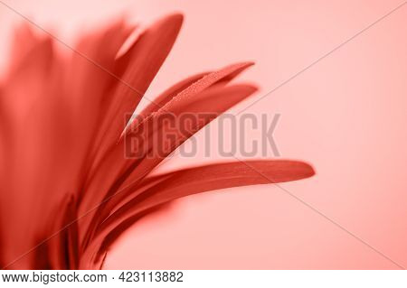 Coral Gerbera Petals With Drops Of Water On A Coral Background. Background With Copyspace For Your D