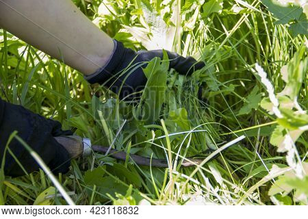 Hands Cut The Grass With A Sickle, Cleaning The Garden From Weeds, Weeding
