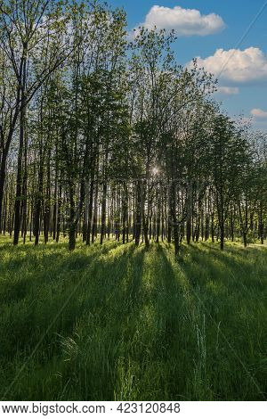 Forest With Tall Trees. There Is Green Grass Among The Trees. The Sun Shines Through The Trees And S