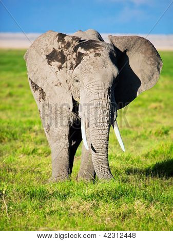 Elephant portrait on African savanna. Safari in Amboseli, Kenya, Africa poster