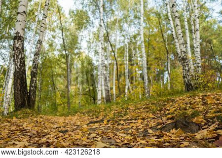 Close Up View On Fallen Yellow Leaves That Covered Forest Ground & Pathway. Background Blurred, It C