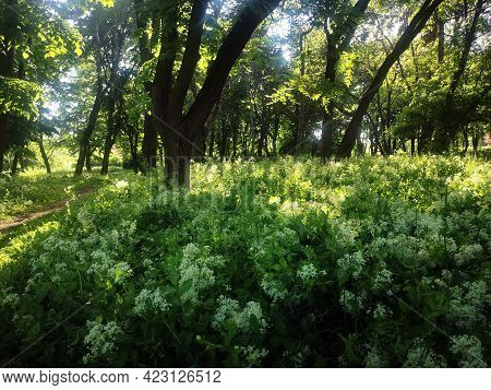 Spring Morning In The Forest. Cozy Path In The Forest Or Park With A Lot Of White Flowers, In The Mo