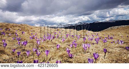 Purple Crocus Flowers. Purple Meadows In The Mountains.
