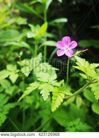 Mountain Geranium - Alpine Flora; Pink Alpine Flowers In The Carpathian Mountains, Romania - Geraniu