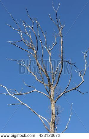 A Large Dead Tree With Long Branches And No Leaves In Front Of A Bright Blue Sky Background
